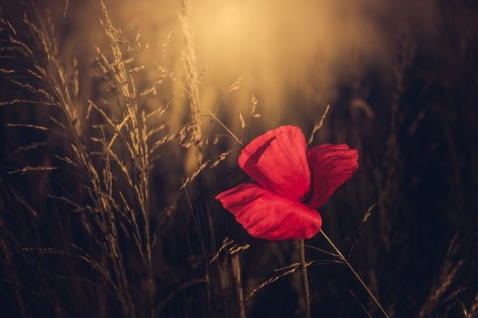 Poppy by HatcatPhotography - Beautiful Flowers Photo Contest