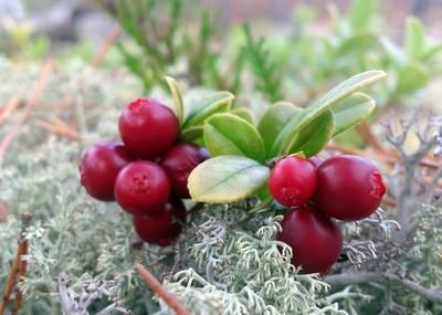 Forest vitamins. Cowberry. Macro-mini landscape.