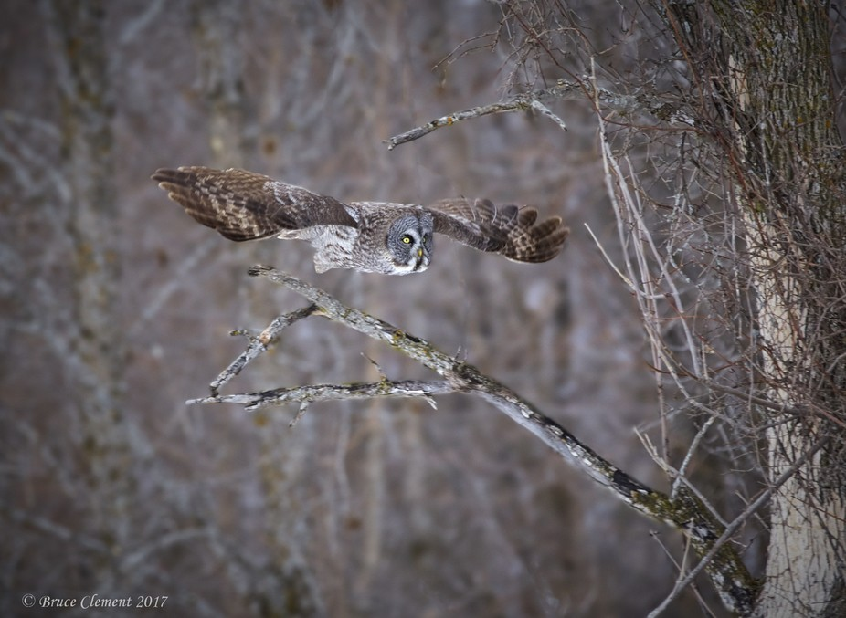 A great gray owl launches itself to hunt.