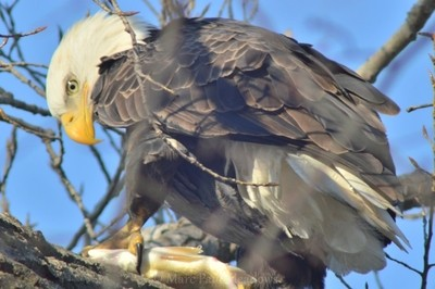 The Bald Eagle Eating A Fish