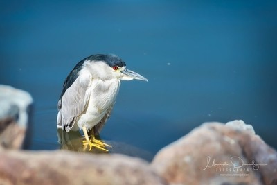 Night Heron 1