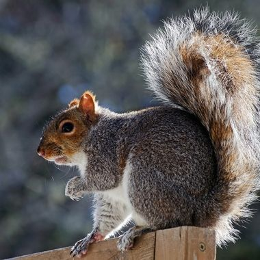 A backlit grey squirrel on a wooden fence.