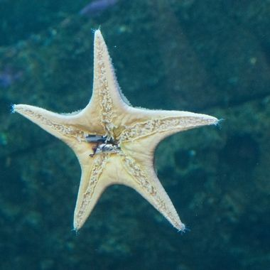 Sea Star Belly
