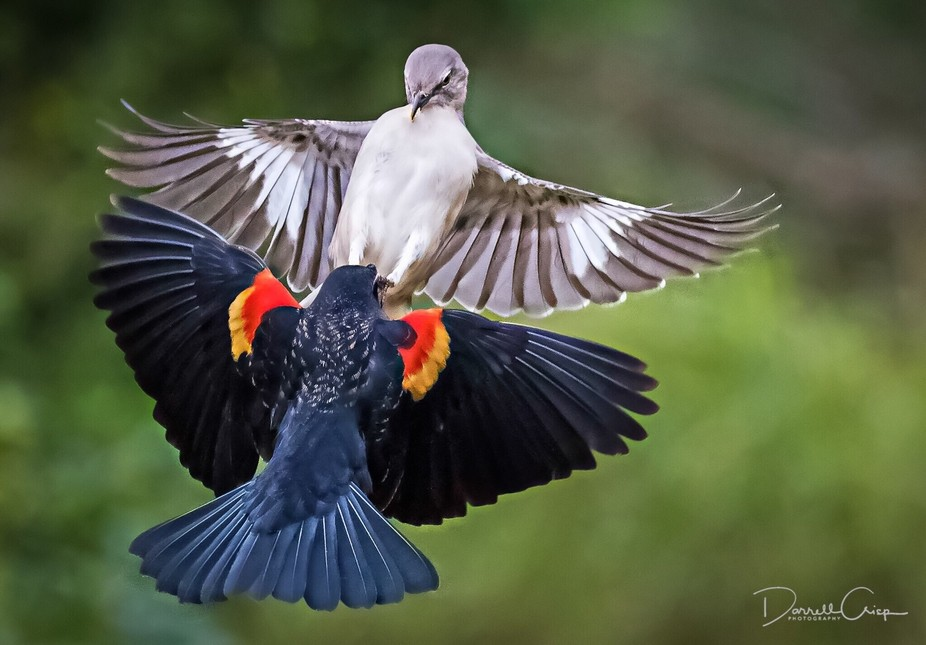 A red-winged blackbird and northern mockiingbird fighting over a suet feeder.