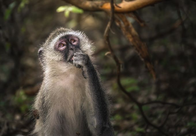 "Vervet Monkey ""meditating"". by Alfredo_Jose - Monkeys And Apes Photo Contest"
