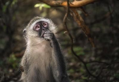 """Vervet Monkey """"meditating""""."""