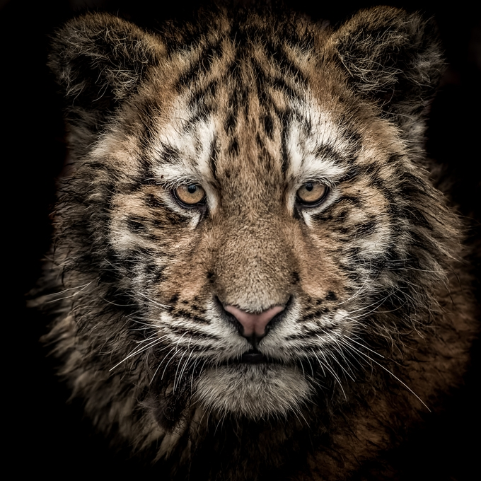 Amur Tiger Cub by zquentin - The Brown Color Photo Contest