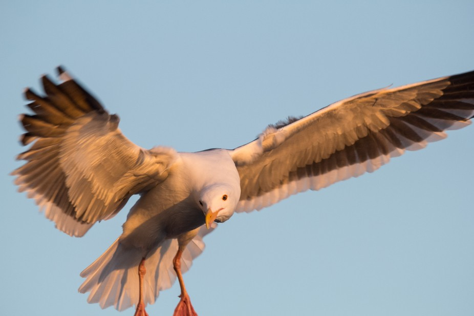 Malibu,California,USA-This seagull loved the camera! .  This bird  hovered  like a drone waiting ...
