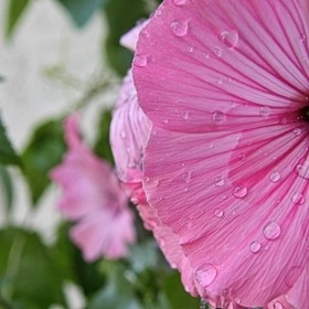 A vivid, pink flower from my garden last summer with water droplets from a rain shower.