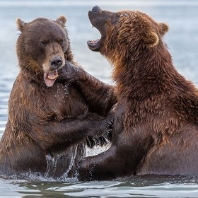 Kamchatka. Battle Bears.