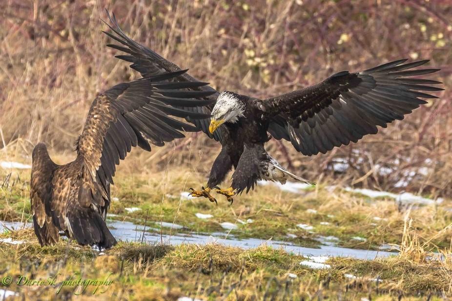Wings of bald eagle
