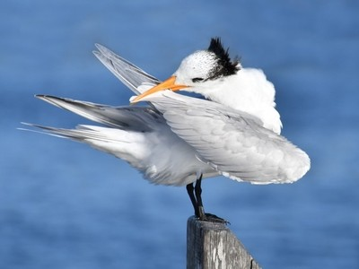 Royal Tern Daily Feather Maintenance