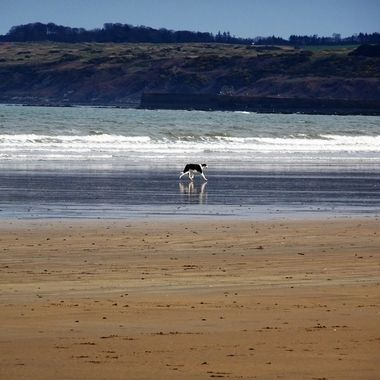 Collie enjoying roaming along St Andrews beach Fife on a stormy day