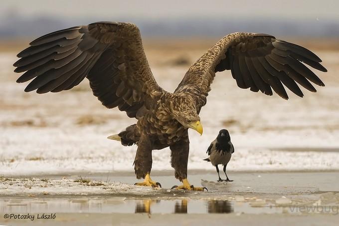 Powerful Eagle by lszlpotozky - Celebrating Nature Photo Contest Vol 3