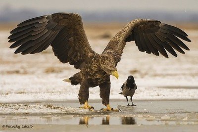 Powerful Eagle