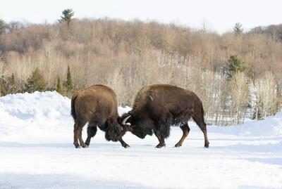 Buffalo fighting on a winter road