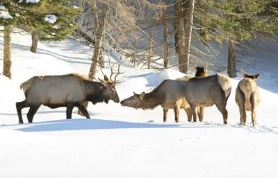 Elk meeting in the winter snow