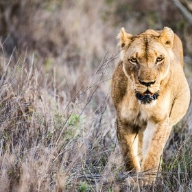 Lioness hunting in Swaziland, Africa