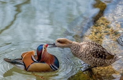 Mandarin Duck and Marbled Teal in a Quarrel