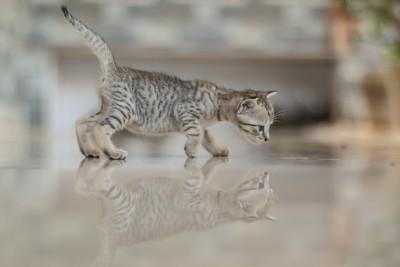Cute kitten reflection