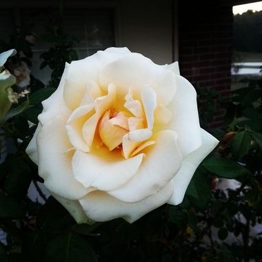 My roses bloom throughout the year.