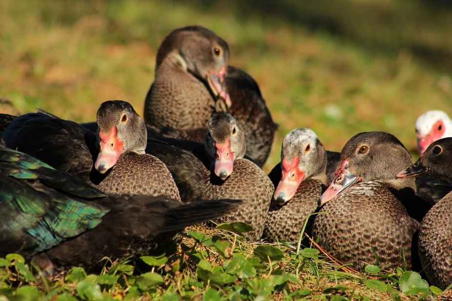 A family of 10 yearling ducks wit mother ( with white head in the back right corner) Napping in t...