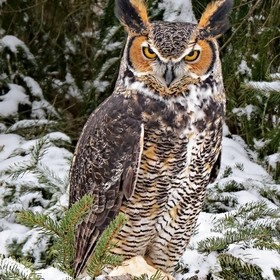 Chomper is a Great Horned Owl.  He is a human imprinted bird who was taken from the wild as a baby by a family who attempted to raise and keep hi...
