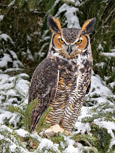 Great Horned Owl Named Chomper