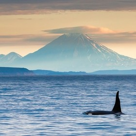 Orca in the Avacha Bay. In the background the volcano Koryakskiy