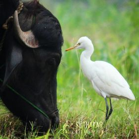 Egret is showing love to Buffalo in the nature.