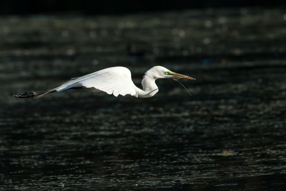 Male Great White Egret bringing a branch for the nest.