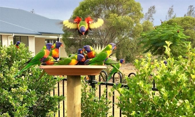 Watch out guys, I'm coming in! Rainbow Lorikeets enjoying a feed in my garden.
