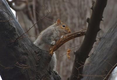 Central Park NY Wild Squirrel