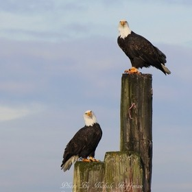I couldn't believe how lucky I was to capture both of these eagles together.  It was one of my highlights.
