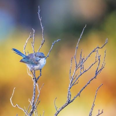 Splendid Fiary-wren