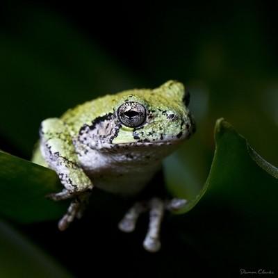 Grey Tree Frog 2582