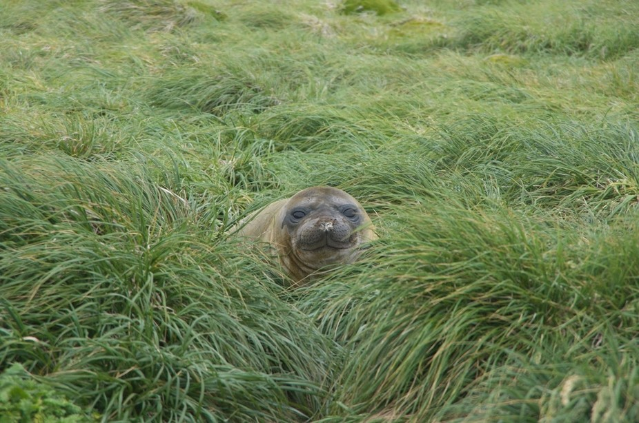 So many seals on Macquarie Island although they tend to 'hide' in the tussock....