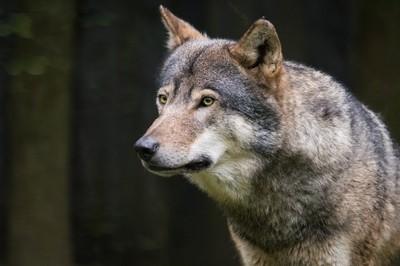 Wolf glare
