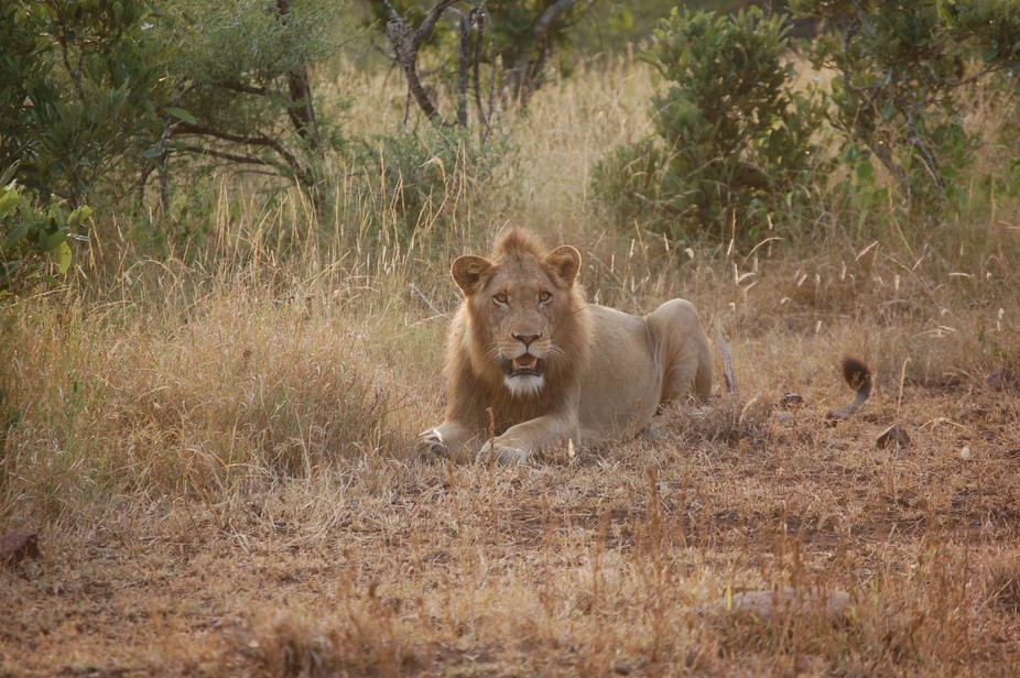 A young male lion captured just as the sun was rising.