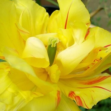 This flower was taken when we went to Mardinli Restaurant in Lefke, Cyprus in the year 2007.