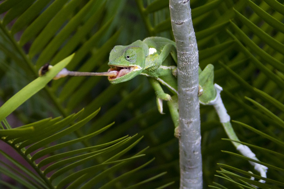 Chameleon catching food