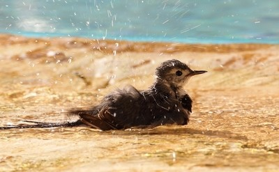 Pied Wagtail in the bath