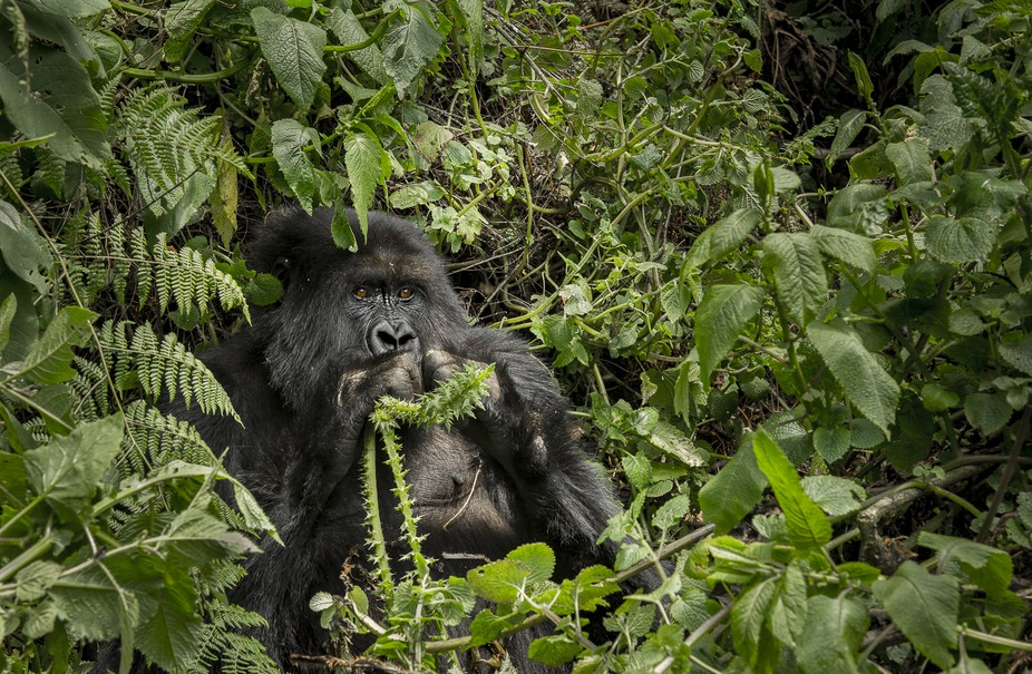 This photo was taken in Rwanda last summer. I was lucky enough to be able to observe these incred...