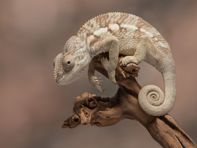 Panther Chameleon by mikehudson_4920 - Reptiles Photo Contest