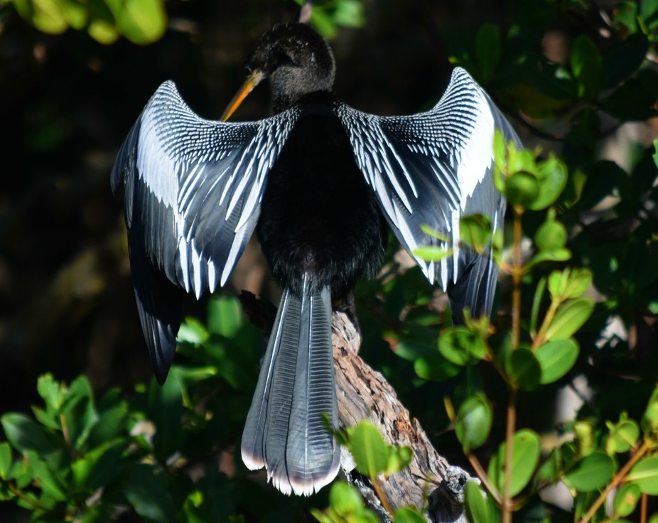 This Anhinga was 'posing' for me. I was walking along the Mangroves in Bradenton, Florida when I came across this beautiful display.