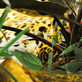 Jag pretending to be asleep in foliage