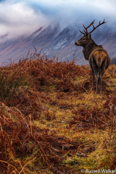 Etive Stag