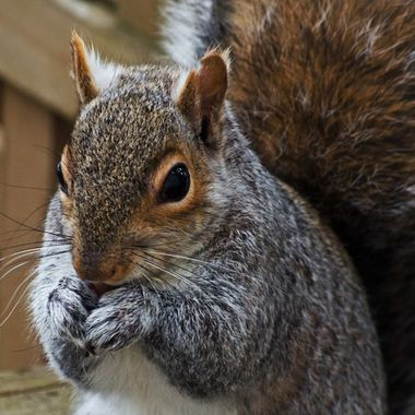 A close-up of a grey squirrel eating.