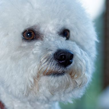 Portrait of our bichon frisé, Oscar.