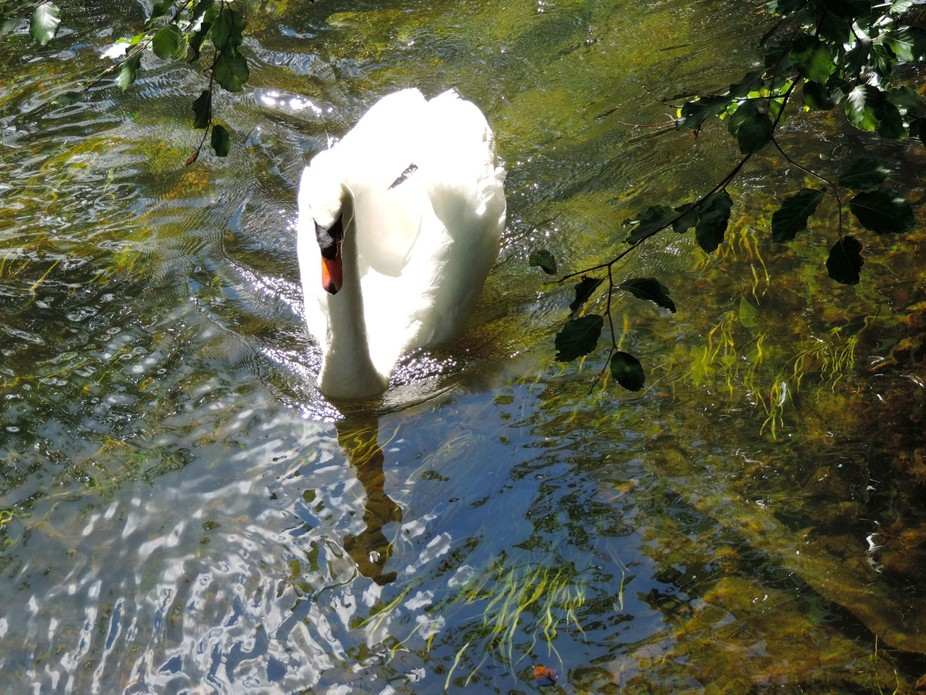 Swan and ripples